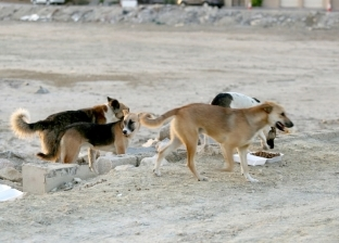 هل القضاء على كلاب الشارع يؤدي إلى انتشار الكائنات الضارة؟