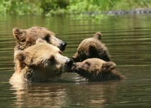 بالصور| الدببة مع ابنائها.. تهذيب وتأديب وإصلاح