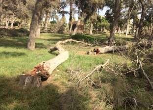 """قطع أشجار عمرها 150 عاما بالمنتزة.. مكافحة الآفات: مصابة بـ""""نخرات الخشب"""""""