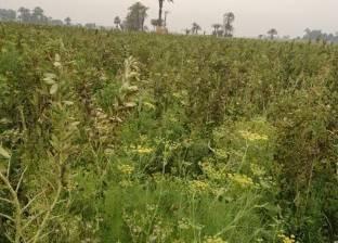 ضبط عامل يزرع مخدر البانجو وسط زراعاته في أسيوط