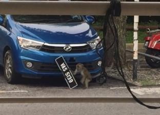 بالفيديو  قرد يسرق لوحة سيارة في ماليزيا