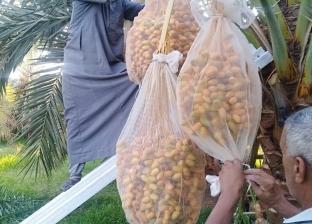 الاتحاد العربي للتمور: زراعة 7 ملايين نخلة يحقق ملياري دولار سنويا