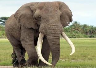 واقعة مأساوية.. فيل يهاجم موظفا في سيرك قازان (فيديو)