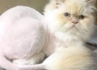 صالون حلاقة كلاب وقطط يقدم «تسريحة شعر الأسد»: بيعملهم باديكير كمان