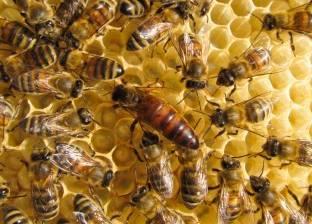 """""""فاو"""" تدعو لحماية النحل: المبيدات الحشرية تهدد الملقحات"""