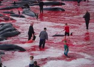 """بالصور  """"مذبحة حيتان"""" تحول لون المياه الأزرق إلى الأحمر في الدنمارك"""