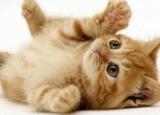 دراسة حديثة: القطط الأليفة مفيدة للصحة العقلية