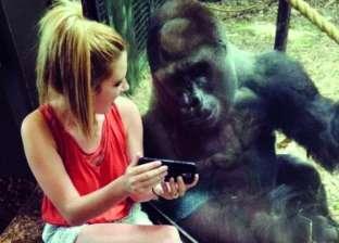 """غوريلا تشاهد مقاطع فيديو مع فتاة أمريكية.. والأخيرة: """"صديقتي الجديدة"""""""