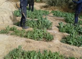ضبط قيراط مزروع بنبات البانجو المخدر في كفر البطيخ بدمياط