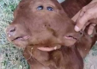 بالصور| أغرب مواليد الحيوانات.. عجل بـ4 عيون ومولد نصف إنسان من ماعز