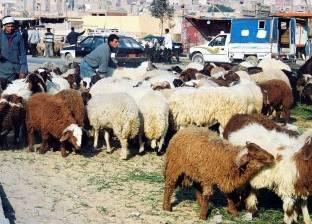 سوق الماشية فى دمياط تحت رحمة جنون «الأعلاف» و«بكر»: 75% من المربين تركوا المهنة