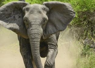"""بـ""""الزلومة"""".. فيل يقتل مزارعا هنديا بطريقة وحشية"""