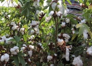 """""""الزراعة"""": نخطط لزراعة350 ألف فدان قطن الموسم المقبل"""