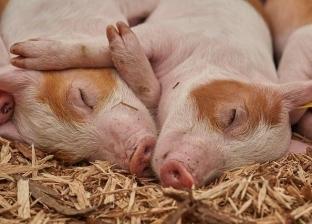 43 مليون يورو لمكافحة حمى الخنازير في رومانيا