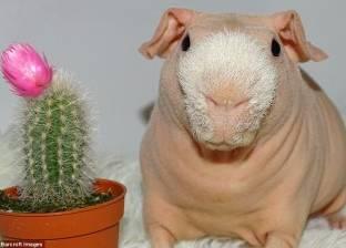 بالصور| «يمتلك حسابا على إنستجرام».. يوميات أصغر خنزير في العالم
