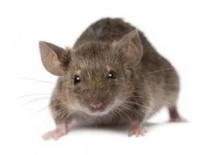 """دراسة تحذر: """"الفئران"""" تهدد حياة الإنسان"""
