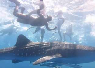 """شاهد  """"جلسة تصوير"""" للسياح مع القرش الحوتي في مياه الغردقة"""