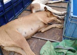"""""""طب بيطري السويس"""": القضاء على 2000 كلب ضال"""