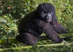 حفريات عمرها 11 مليون عام تجيب .. لمذا تتشابه القرود مع البشر؟