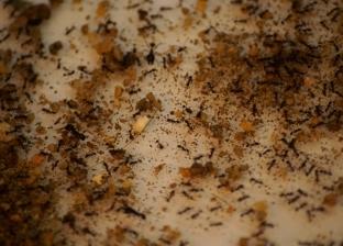اصنع ثروة من حشرات المنزل.. النملة بـ3400 جنيه و البرص بـ2 دولار