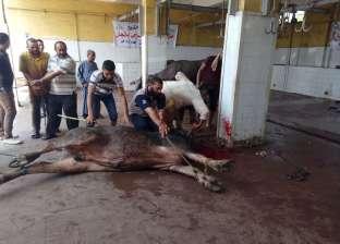 """""""الأورمان"""" توزع 25 عجلا و45 طنا من اللحوم على 190 جمعية في كفر الشيخ"""