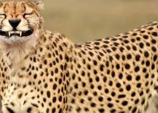 """""""ضحكة الفهد"""".. مصور يلتقط صورة للحظة تثاؤب مفاجئة"""