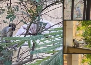 «حدائق الحيوان» عن ظهور نسانيس بحدائق الأهرام: «فيه ناس بتربي تماسيح»