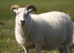 أطاح به خارج السياج.. خروف غاضب يهاجم عامل بالمزرعة (فيديو)