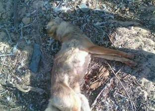 ثعلب يقتل رضيعة داخل منزل في مدينة براني بمطروح