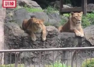 """بـ""""دمية أسد"""".. تدريب في حديقة حيوانات باليابان على هروب """"ملك الغابة"""""""