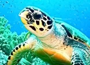 سلحفاة نادرة «تفقس» فى شاطئ «تيوليب»