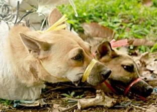 """""""الزراعة"""": إعدام 295 ألف كلب وتحصين 4 آلاف ضد مرض السعار"""