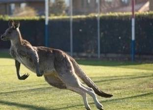 بالفيديو| حيوان كنغر يتحول لنجم عالمي بعد اقتحامم لمباراة كرة قدم