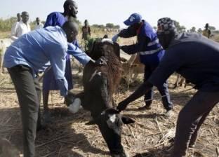 جنوب السودان تنفذ أكبر حملة تطعيم للماشية لحماية أكثر من 9 ملايين رأس