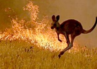 أشهرها الكانجارو.. حرائق الغابات تهدد حيوانات أستراليا بالانقراض