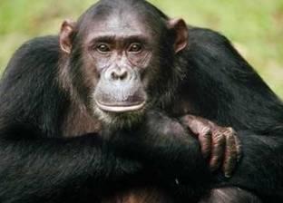 دراسة تكشف تطور اللغات البشرية من أصوات قرود الشمبانزي