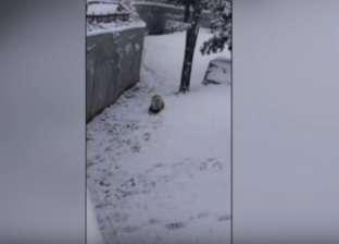 بالفيديو  دب باندا يرى الثلج لأول مرة يجمع آلاف المشاهدات