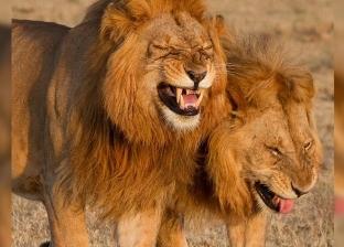 """ما بين """"السحر الأسود"""" و""""الثراء السريع"""".. حيوانات أفريقيا تحت التهديد"""