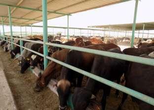 استيراد 47 ألف طن لحوم أبقار استعدادا لرمضان