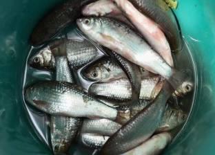 """الأسماك تواصل استقراراها.. و""""البلطي"""" بـ24 جنيها """"جملة"""""""