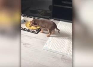 بالفيديو| كلب صغير يتناول طعامه بطريقة عجيبة.. تعرف عليها