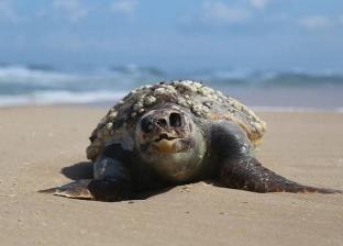 الأمواج تلقي سلحفاة ضخمة ميتة على شاطئ رفح