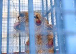 """حتى حيوانات """"حلب"""" بقت لاجئة: أسود ونمور ودببة تبحث عن موطن آمن"""