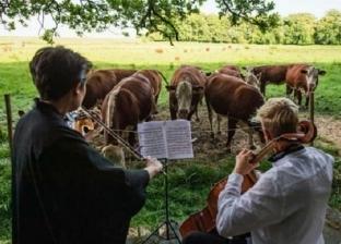عازف «تشيلو» يقدم حفلة موسيقية للأبقار: استمرار لمسيرتى الفردية