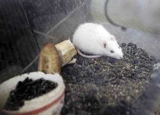 أسباب إجراء التجارب العلمية على الفئران