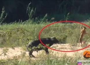 بالفيديو| جاموس ينقذ سحلية من بين أنياب الأسود ويوسعهم ضربا