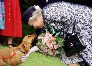 أعلنت الحداد عليه.. نفوق كلب الملكة إليزابيث الثانية (صور)