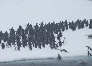 """بالفيديو  """"البحث عن الدفء"""".. هجرة البطريق خلال موسم الشتاء"""