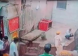 بالفيديو| مشهد مضحك.. قرد مشاكس يسرق أفعى سامة