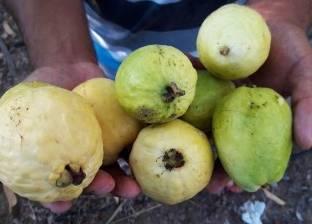 السعودية رفضت الجوافة الملوثة.. ومحلات العصير تشتريها بأقل 30%